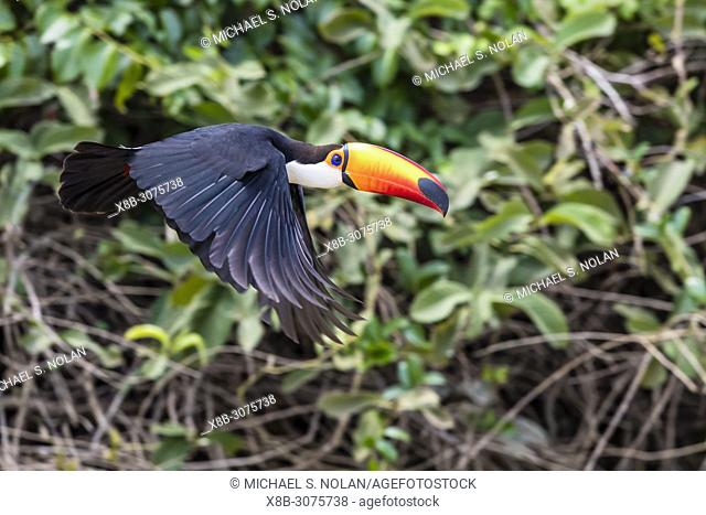 An adult toco toucan, Ramphastos toco, in flight near Porto Jofre, Mato Grosso, Brazil