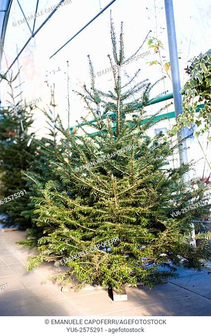 Christmas firs growing in nursery