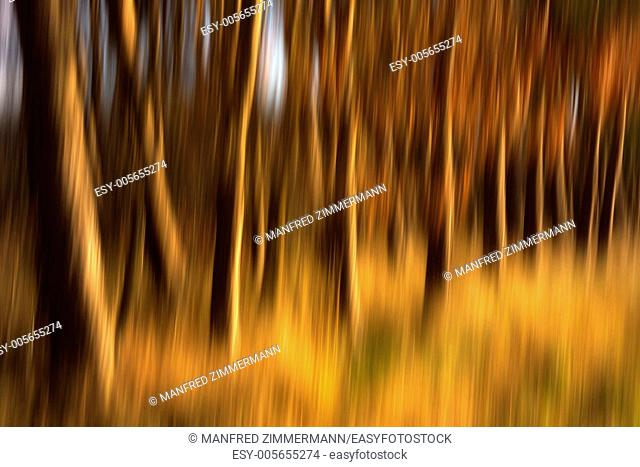 Tree trunks from the forest as blurred background photo
