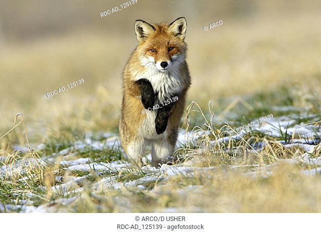 Red Fox Lower Saxony Germany Vulpes vulpes
