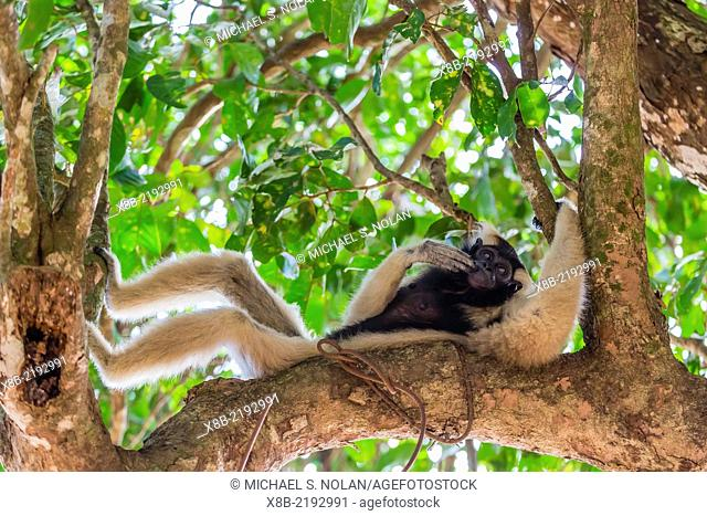 Adult female pileated gibbon (Hylobates pileatus) adopted by monks at Wat Hanchey, Kampong Cham Province, Cambodia (Khmer)