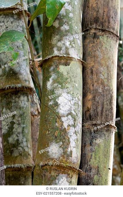 Stems bamboo tree in white mildew