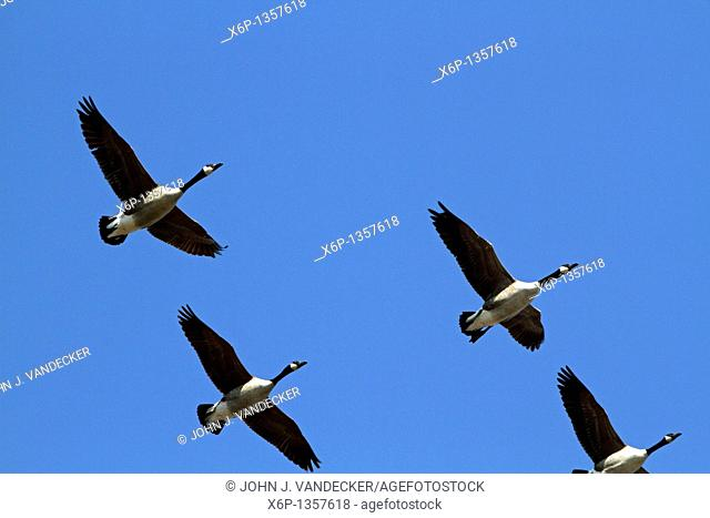 Canada Geese, Branta Canadensis, flying in formation  Paramus, New Jersey, USA