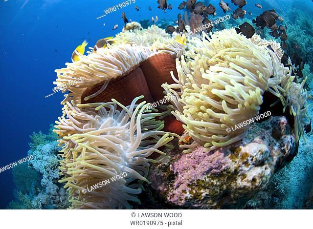 Red Sea Anemone Heteractis magnifica, Anemonefish and Damselfish swimming around anemone, Red Sea