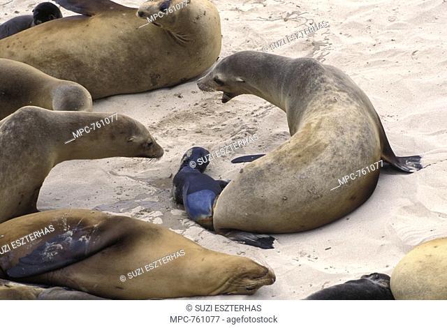 California Sea Lion Zalophus californianus, giving birth, San Miguel Island, Channel Islands National Park, California