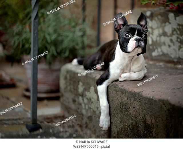 Germany, Rhineland-Palatinate, Boston Terrier, Puppy lying on step