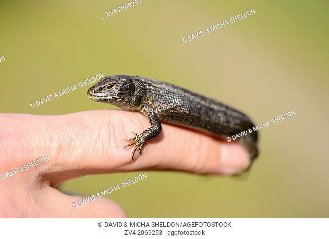 Close-up of a lizard on a finger