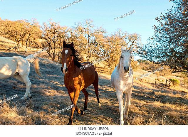 Three horses trotting in field