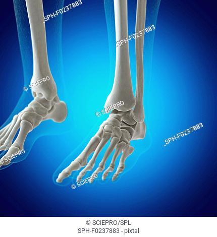 Illustration of the foot bones