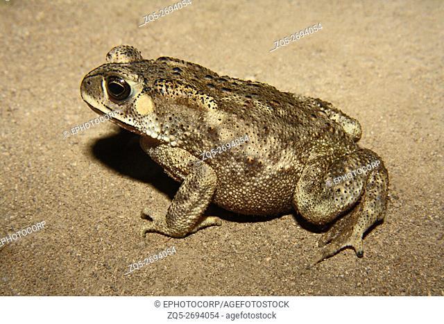 Name: Common Indian Toad Location: Bhadgaon, Jalgaon District, Maharashtra