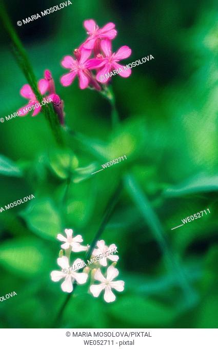 Summer Pinks in Bloom. Silene hybrids. June 2006. Maryland, USA