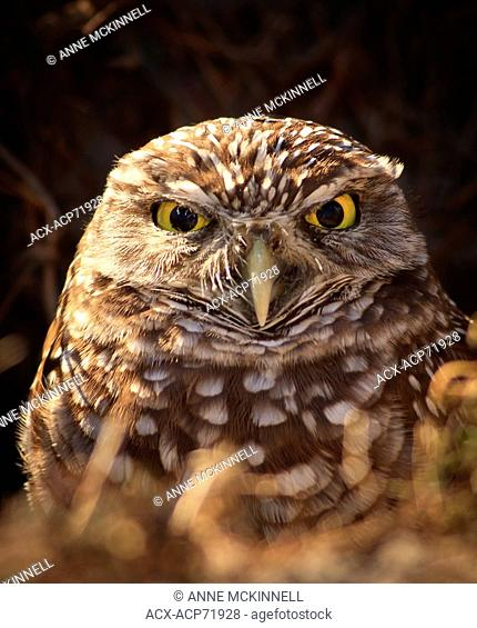 Burrowing owl at Cape Coral, Florida, USA