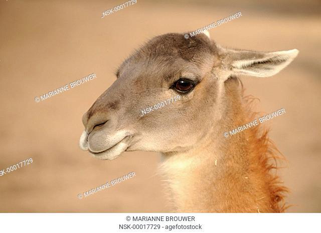 Llama (lama glama) portrait