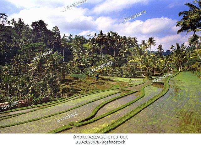 bali, indonesia, rice fields