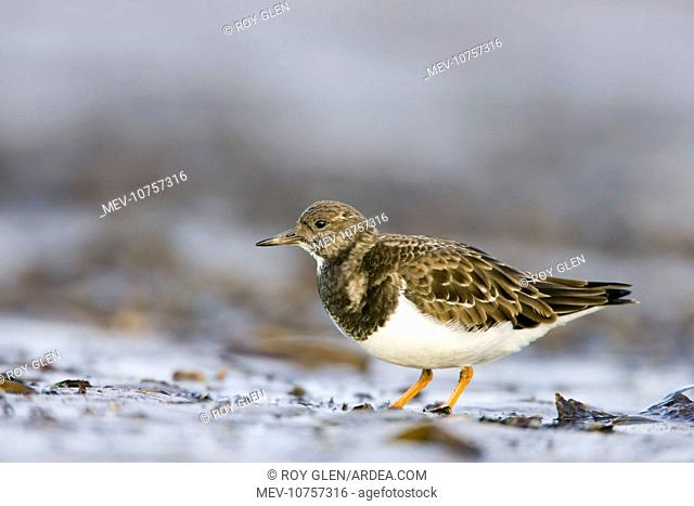 Ruddy Turnstone. (Arenaria interpres)