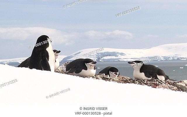 Chinstrap penguins Pygoscelis antarcticus on nests. Orne Island. Antarctic peninsula