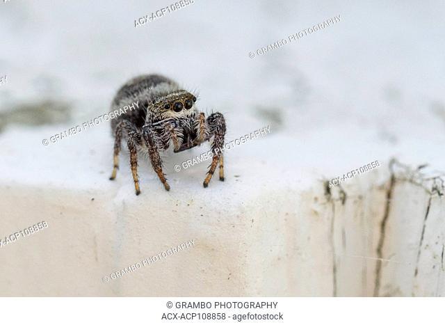 Jumping spider, probably Pelegrina sp., Warman, Saskatchewan, Canada