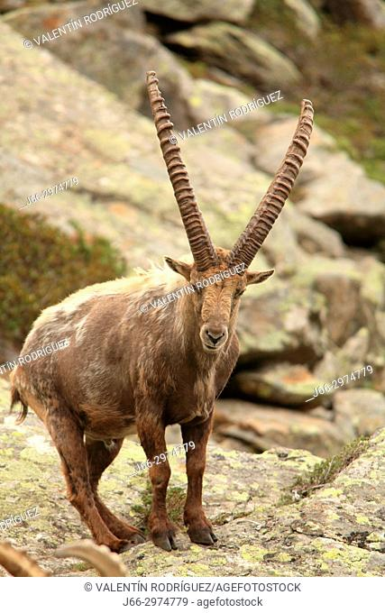 Ibex (Capra ibex) in the Gran Paradiso national park. Italy