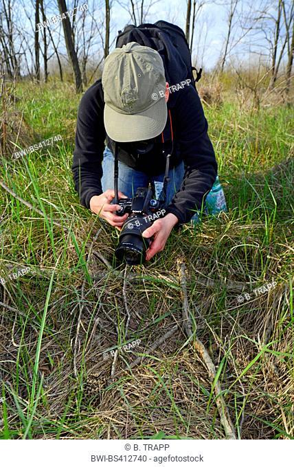 meadow viper, Orsini's viper (Vipera ursinii), biologist takes a photo of a rare meadow viper, Romania, Moldau, Iași