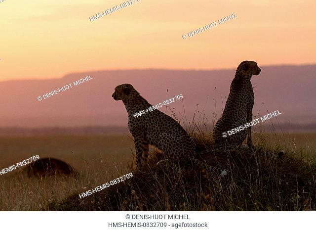 Kenya, Masai Mara National Reserve, Cheetah (Acinonyx jubatus), at sunset