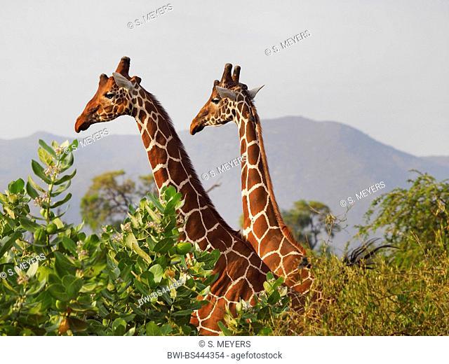 reticulated giraffe (Giraffa camelopardalis reticulata), two giraffes in a shrubbery, Kenya, Samburu National Reserve
