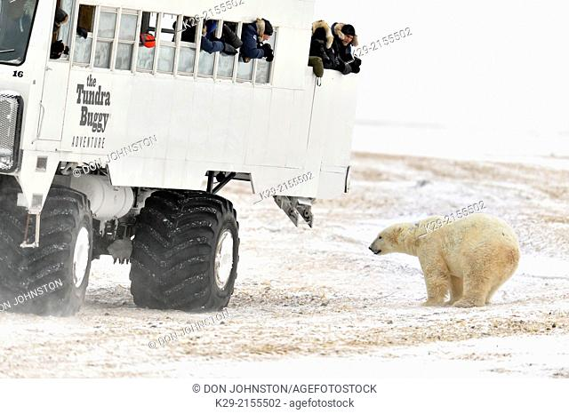 Hudson Bay coastline at freeze-up- with Tundra Buggy vehicle and curious polar bear, Wapusk NP, Cape Churchill, Manitoba, Canada