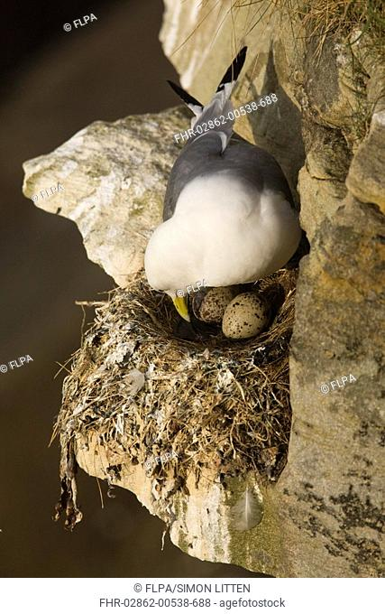Kittiwake Rissa tridactyla adult, tending eggs in nest, Farne Islands, Northumberland, England