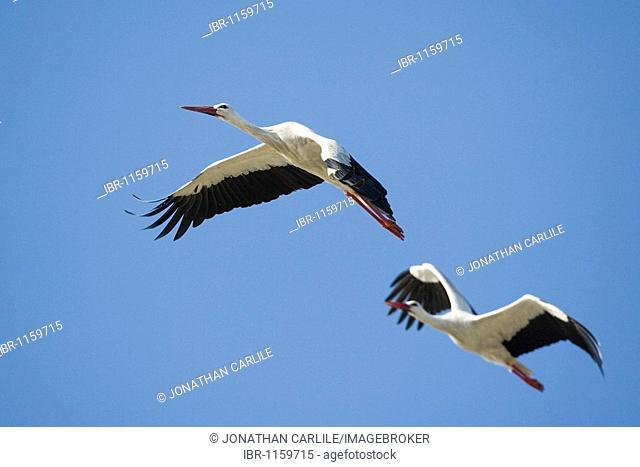 European Storks (Ciconia ciconia ), flying, Lake Ndutu, Serengeti, Tanzania, Africa