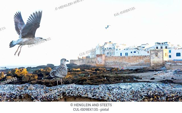 Gulls in flight, Essaouira, Morocco