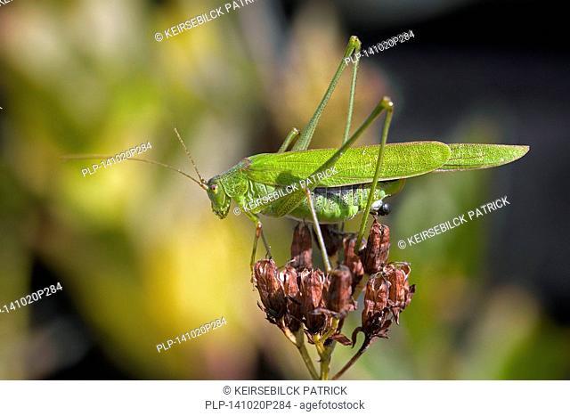 Sickle-bearing bush-cricket (Phaneroptera falcata) on flower
