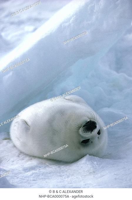 HARP SEAL young Phoca groenlandica lying upside down on snow Saint Lawrence, northern Canada