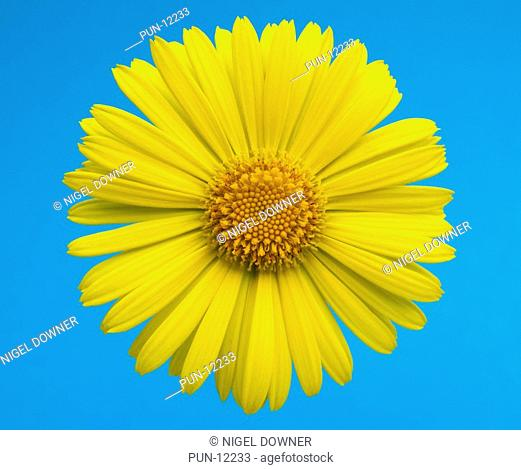 Close-up abstract of a single doronicum flower set against a blue background in a Norfolk garden