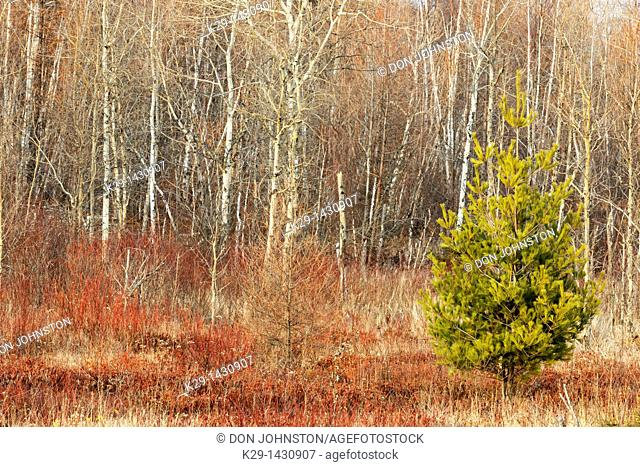Willow and aspen in November Greater Sudbury Ontario