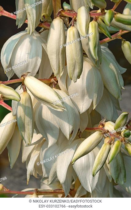 Common yucca (Yucca filamentosa). Called Adam's needle, Spanish bayonet, Bear-grass, Needle-palm, Silk-grass and Spoon-leaf yucca also