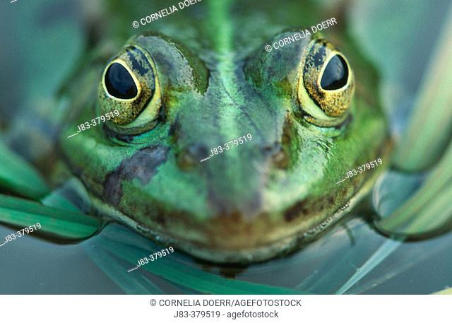 Pool Frog (Rana lessonae). North Rhine Westphalia. Germany
