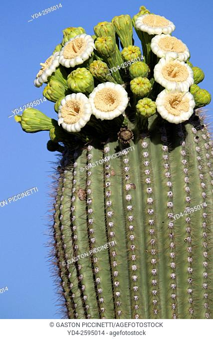 Blooming Saguaro (Carnegiea gigantea), flowers appear in April through June. Saguaro National Park, Sonora Desert, Arizona, Tucson, USA