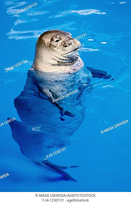 Hawaiian monk seal, Monachus schauinslandi, critically endangered species, endemic to Hawaiian Island chain, Oahu, Hawaii, captive