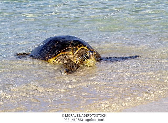 Midway , Sand Island , Green Turtle  Chelonia mydas , rest on the beach
