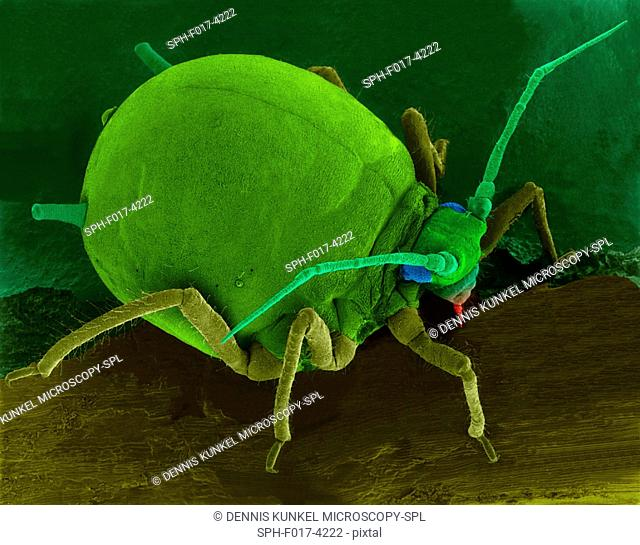 Coloured scanning electron micrograph (SEM) of Cotton aphid (Aphis gossypii) on an hibiscus leaf. Also called the melon aphid it is commonly associated with...