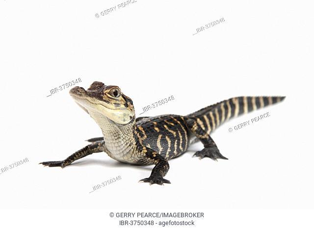 American Alligator (Alligator mississippiensis), young
