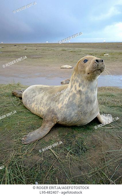Grey Seal (Halichoerus grypus) on beach, Donna Nook National Nature Reserve, England. UK
