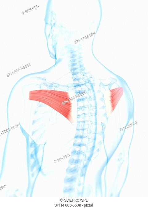 Back muscles. Computer artwork of the infraspinatus muscles