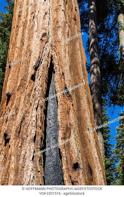 Detail of the trunk of a Giant Sequoia (Sequoiadendron giganteum) tree in Mariposa Grove, California, USA