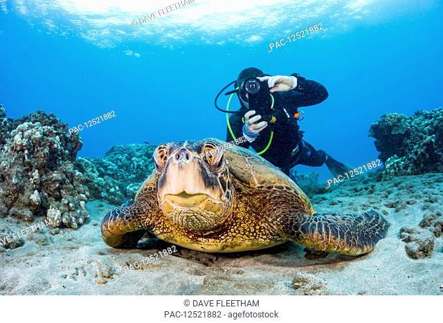 A photographer lines up with his smart phone in a housing on this Green sea turtle (Chelonia mydas) off the coast of Maui; Hawaii, United States of America