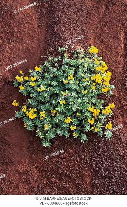 Lotus creticus is a perennial herb native to coastline to Mediterranean Basin. This photo was taken in Menorca Island, Balearic Islands, Spain