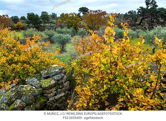PORTUGUESE OAK (Quercus faginea), Faia Brava private reserve, Portugal, Europe