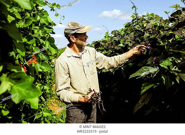 Farmer standing in a field, harvesting purple beans