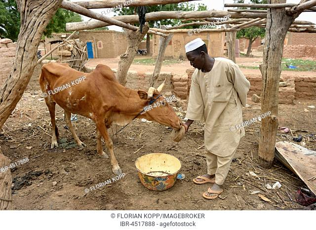 Farmer letting beef lick on a stone with minerals and salt, Toeghin village, Oubritenga province, Plateau Central region, Burkina Faso