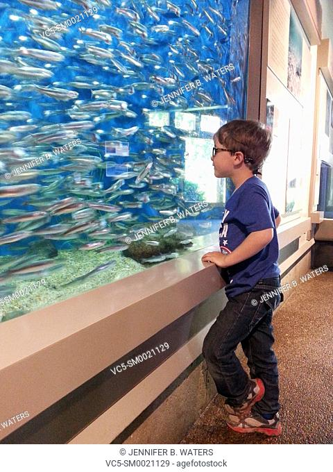 A boy looks at anchovies swimming in a tank at an aquarium in Newport, Oregon, USA