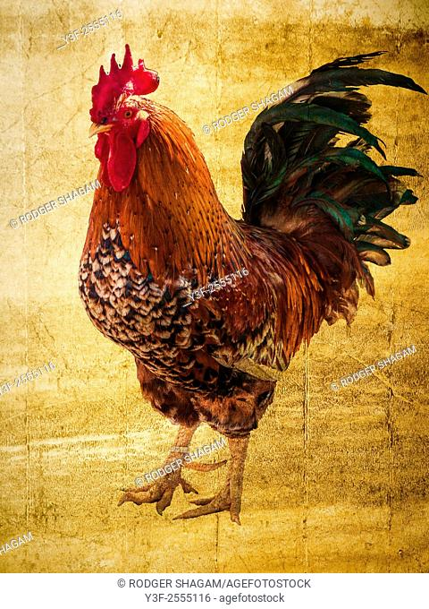 Proud rooster Stands erect, posing for the camera ..